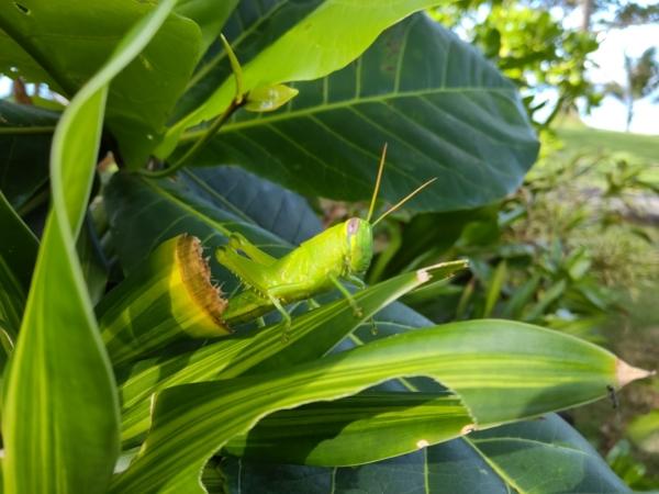 Huawei MatePad 11 sample picture (grasshopper, rear camera).